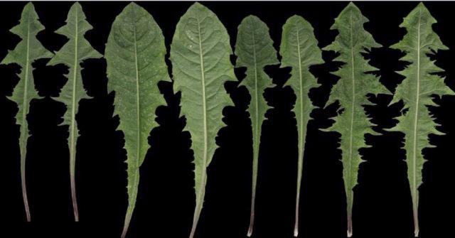 Dente-de-Leão, a planta medicinal mais versátil, você ficará surpreso com o que ela pode fazer!