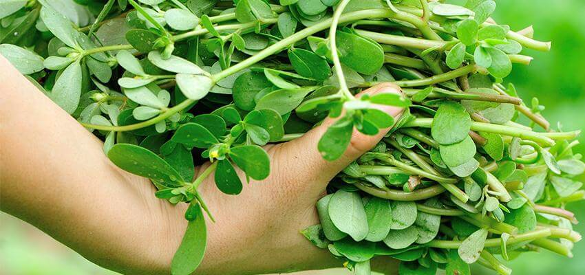 Essa Planta é Conhecida Por Curar Todas As Doenças – Todos Deveriam Ter Em Casa