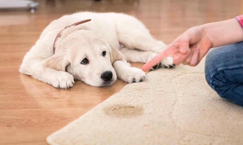 Incrível Truque Para Evitar Que o Seu Cachorro Faça Xixi Dentro De Casa!