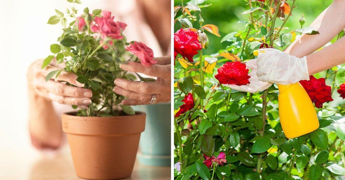 Como Plantar Centenas De Rosas Com Apenas Um Caule? Passo a Passo