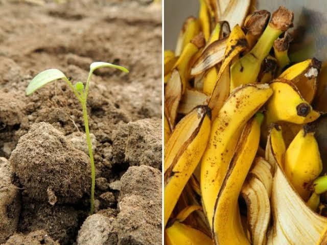 Aprenda 5 Fertilizantes com casca de banana – Suas plantas vão crescer em 3 dias