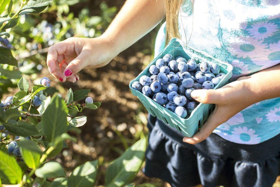 Que tal plantar mirtilos em sua casa? Frutas pequenas com grandes benefícios