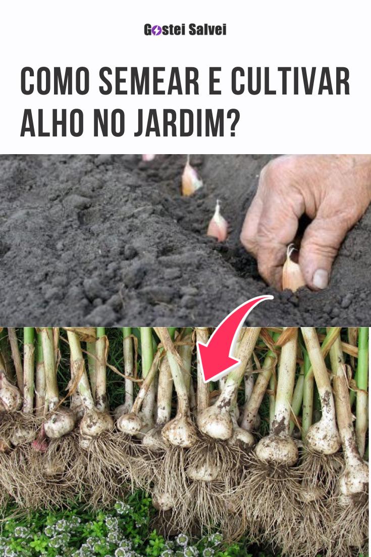 Como semear e cultivar alho no jardim?